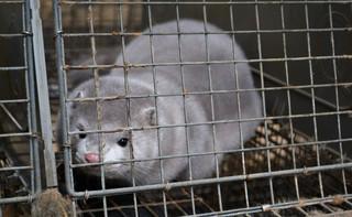 Koronawirus w fermach norek w Holandii. Zwierzęta zainfekowane