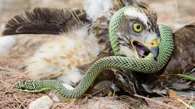 Jastrząb pokrzyżował plany turystom, zrzucając na nich węża