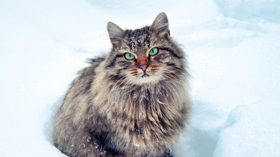 Koty syberyjskie cechuje efektowny wygląd - vvvita/stock.adobe.com