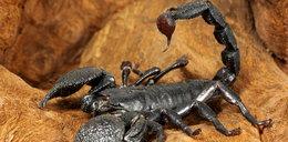 600 skorpionów w walizce! Chińczyk wiózł je na własny użytek!