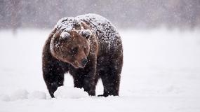 Niezwykłe zdjęcie z Czarnej Polany. Drogą spacerował niedźwiedź