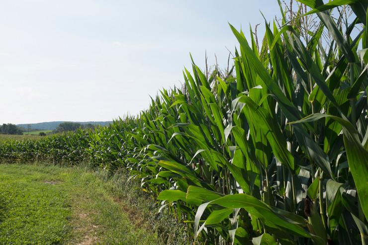 žitarice kukuruz pšenica