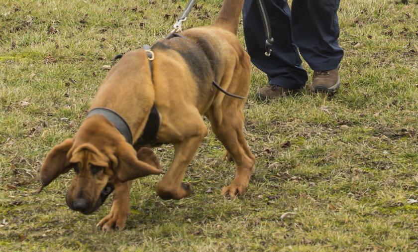 Psy tropiące z Niemiec szukały zaginionej Ewy Tylman