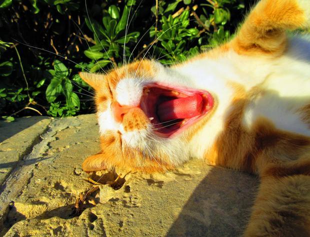 Gozytański kot