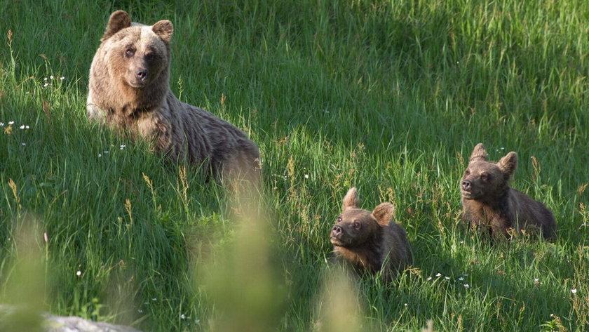 W Tatrach znów zabito niedźwiedzicę. Jedno z jej młodych wysłano do zoo. Powód szokuje