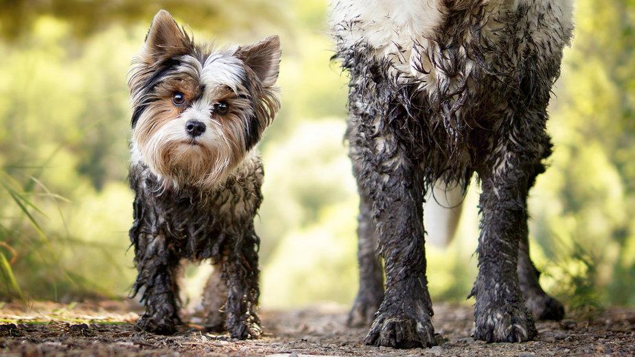 Psy kochają się brudzić