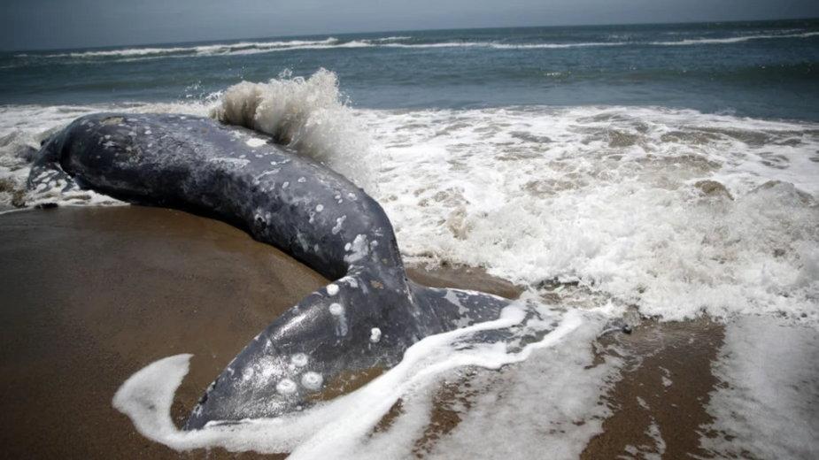 Przodkowie wielorybów chodzili po lądzie, a dzisiejsze walenie zachowały po nich anatomiczną pamiątkę (fot. Getty Images)