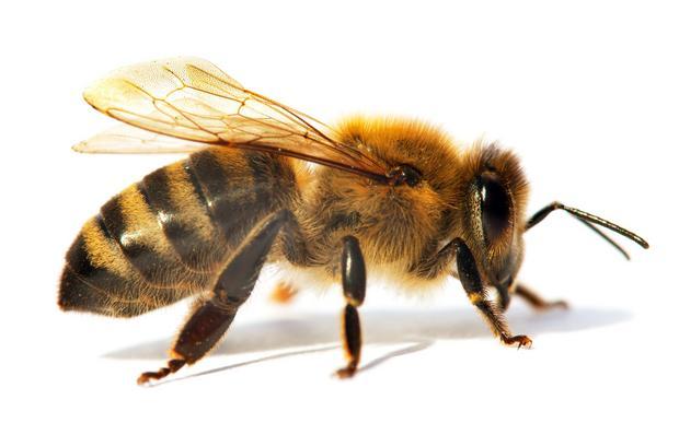 Pszczoła (Apis)