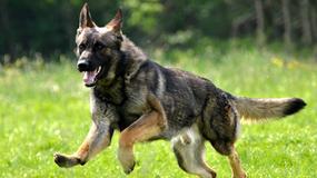 Schronisko chciało uśpić psa. Czworonóg przeżył śmiertelny zastrzyk