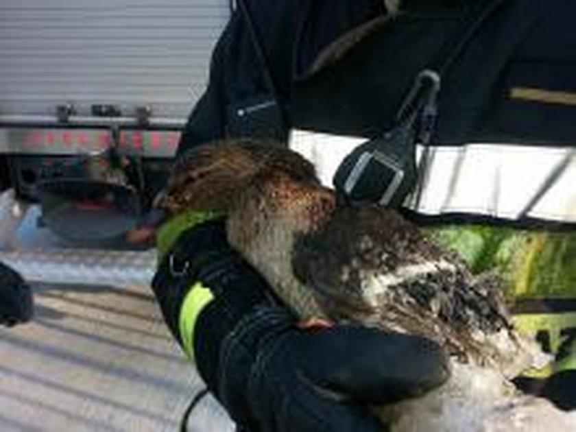 Kaczka została uratowana