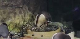 Homoseksualne pingwiny zaopiekowały się porzuconymi jajami. Zostali rodzicami!