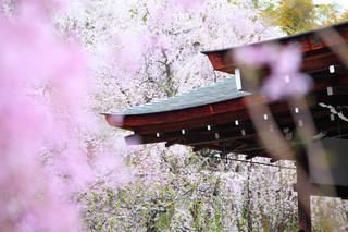 Zaraza wśród kwitnących wiśni. Japonia pogrąży się w recesji?