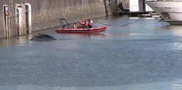 Wieloryb wpłynął do jachtowego portu! Ale widowisko