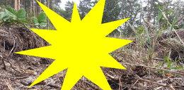 Leśnicy oniemieli, gdy zobaczyli, co wyrosło w lesie pod Bolesławcem