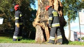 Wandale podpalili w Strzelcach Opolskich 200-letni buk