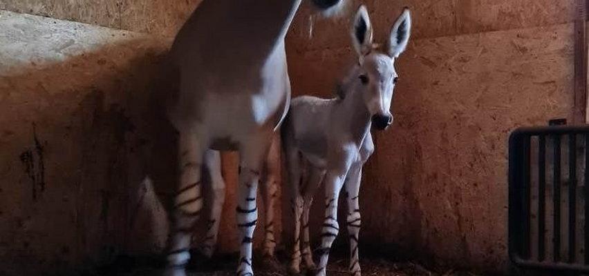 Radosna nowina w płockim zoo. Urodził się osiołek somalijski. Ale słodziak!