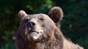 Prezenterka TVP2 zaatakowana przez 120- kilogramową niedźwiedzicę