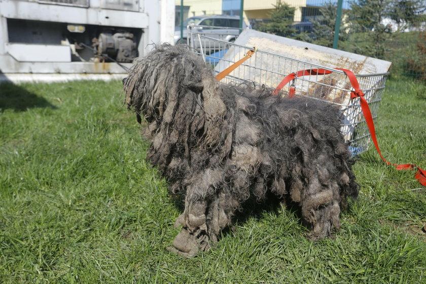 Ta fura kłaków to pies
