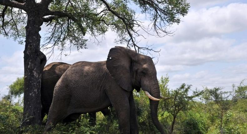 An African elephants, the largest land animals on Earth.
