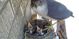 Wstrząsające nagranie z gniazda. Takie jest życie