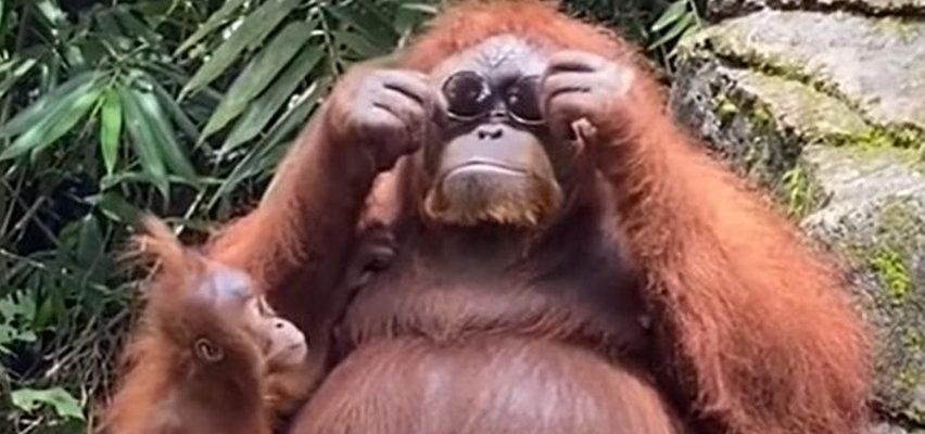Tego jeszcze nie było, orangutan w okularach [FILM]