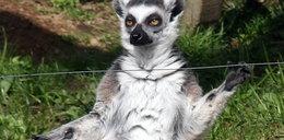 Zobacz: król Julian w Krakowie. To taki sam lemur