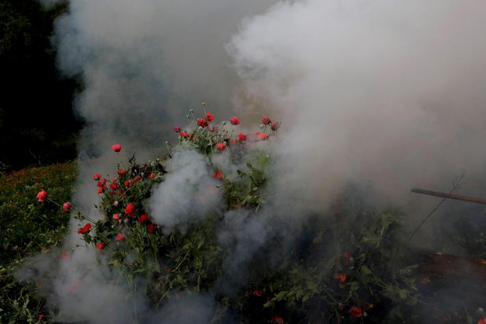 The Wider Image: As opium poppies bloom, Mexico seeks to halt heroin trade