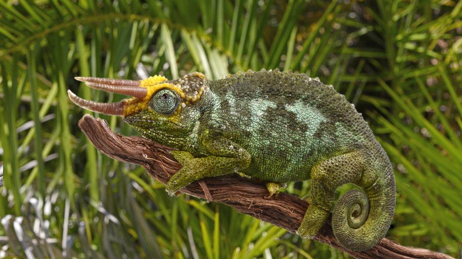 Kameleon Jacksona - bennytrapp/stock.adobe.com