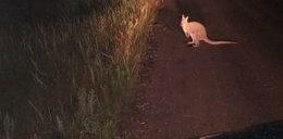 Kangur w podwłocławskich lasach. Leśniczy szukają zbiega!