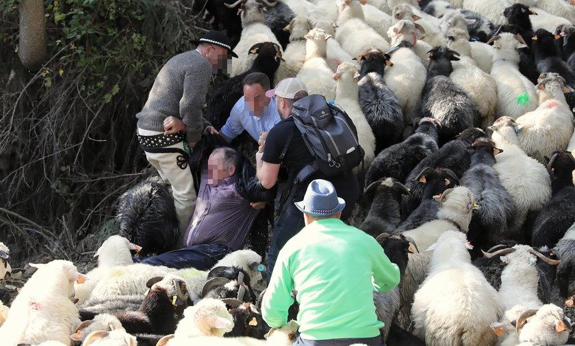 Mężczyzna stratowany przez stado owiec.