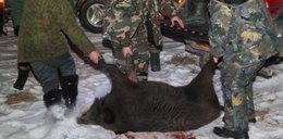 Białoruś szukuje masakrę dzików