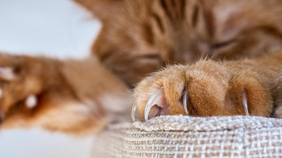 Podrapanie przez kota może doprowadzić do tzw. choroby kociego pazura - Sundry Photography/stock.adobe.com