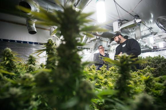 Plantaže marihuane