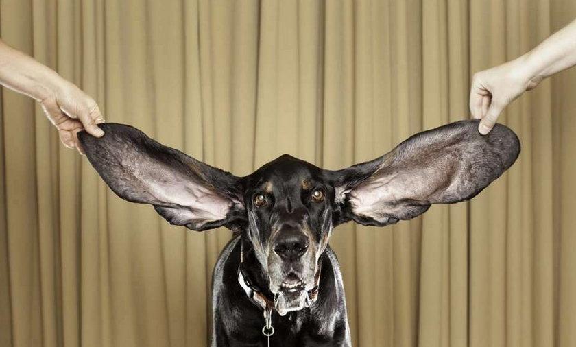 Pies z najdłuższymi uszami na świecie