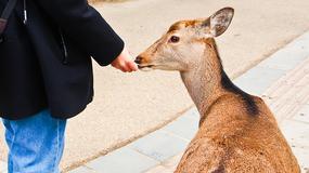 Jelenie w parku w mieście Nara raniły w ubiegłym roku 180 turystów