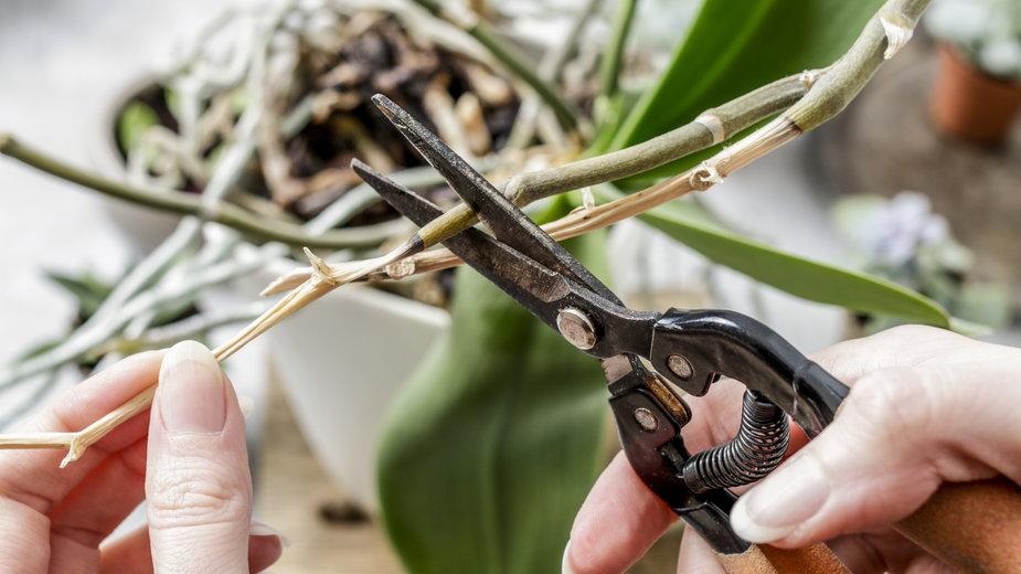 Przycinanie storczyków to jeden z ważnych zabiegów pielęgnacyjnych - agneskantaruk/stock.adobe.com