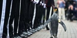 Pingwin został generałem!
