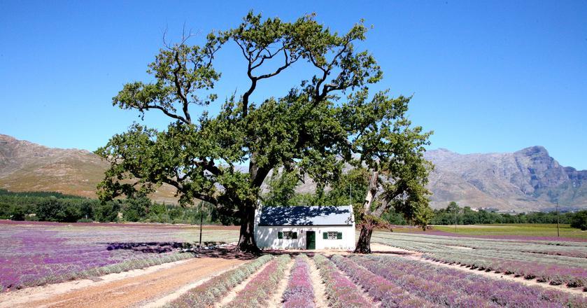 Winnica w Stellenbosch w RPA