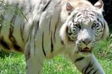 Benglaski tigar