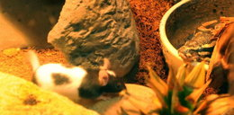 Ta myszka jest jak gladiator!