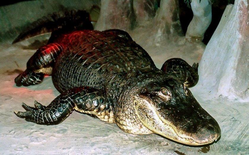Nie żyje aligator Saturn. Miał 84 lata