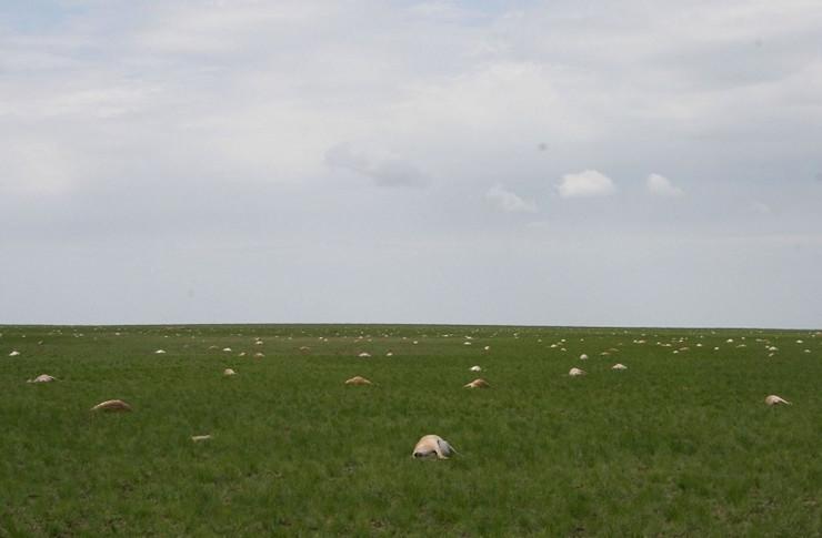 sajga antilope01 foto Promo Association for the Conservation of Biodiversity of Kazakhstan