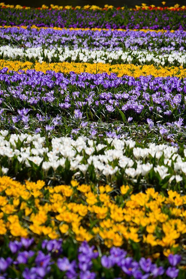 Ogród Keukenhof położony jest pomiędzy Amsterdamem i Hagą.