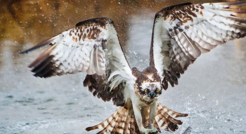 An Osprey. (dkfindout)