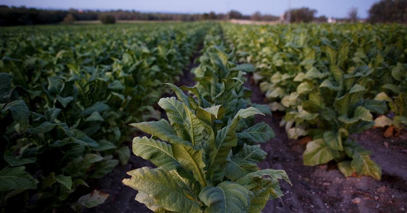 Naukowcy do stworzenia nowego rodzaju szczepionek wykorzystali rośliny pokrewne tytoniowi. Na zdjęciu: plantacja tytoniu w Hiszpanii