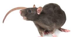 Groza w Lublinie. Szczur zaatakował mężczyznę