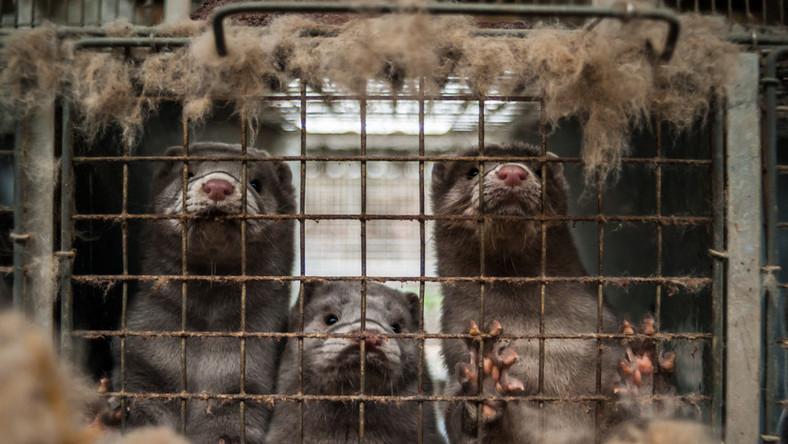 Zwierzęte futerkowe w klatce. Norki