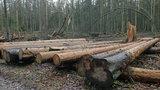 Chcą wyciąć 40 tys. świerków z Puszczy Białowieskiej. Mają stanowić zagrożenie