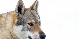 Wilk siał postrach wśród mieszkańców. Przebył setki kilometrów