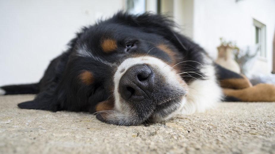 Berneński pies pasterski jest doskonałym psem rodzinnym -  DeAntu/stock.adobe.com